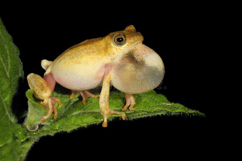 Malująca trzcinowa żaba obraz stock