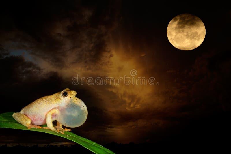 Malująca trzcinowa księżyc i żaba obraz stock