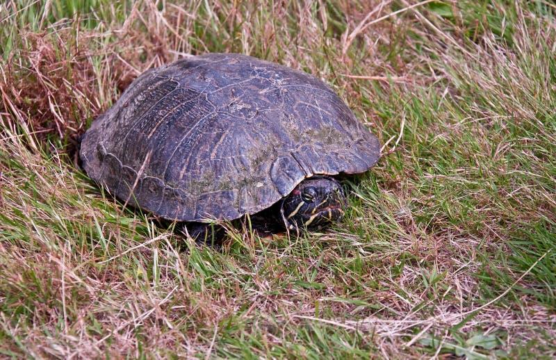 Malujący Żółw TARGET328_0_ Jajka w Trawie zdjęcia royalty free