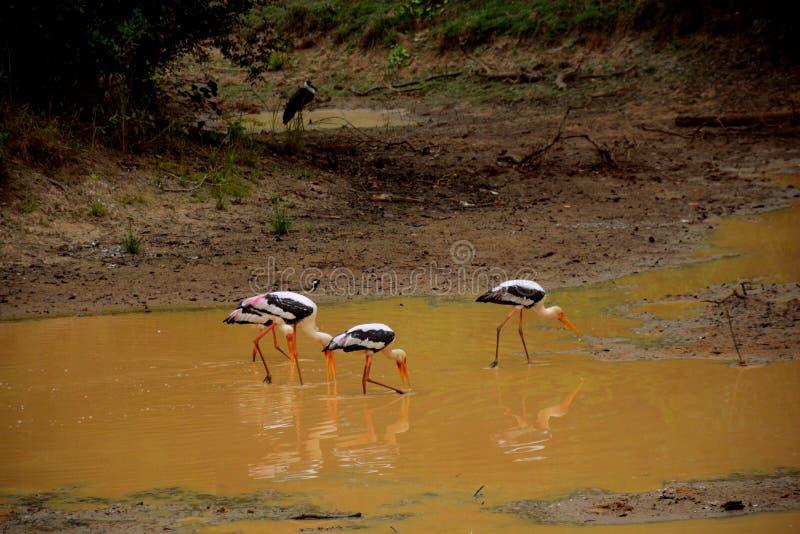 Malujący bocian wystawia swój piórka w Sri Lanka zdjęcia royalty free