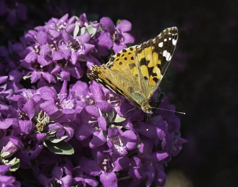 Malujący dama motyl na Leucophyllum Teksas mędrzec kwiatach obrazy stock