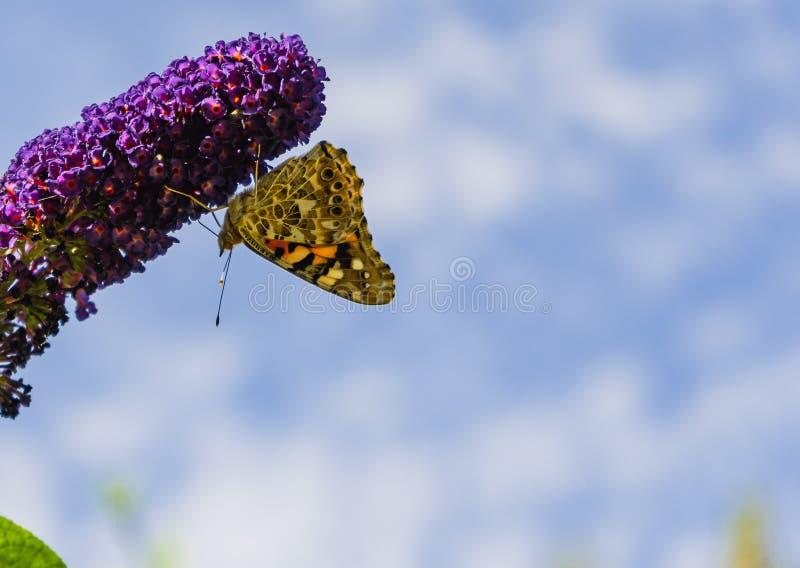 Malujący damy motyli zbieracki pollen od Buddleja kwitnie zdjęcie stock