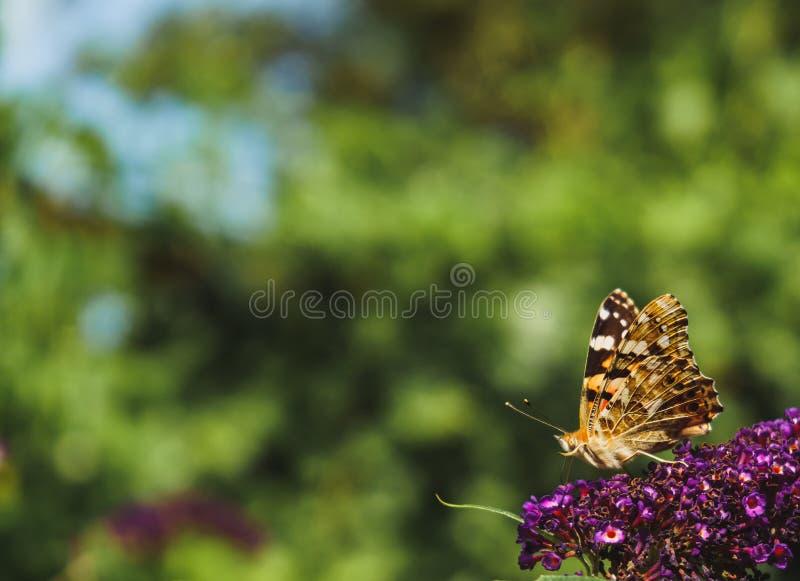Malujący damy motyli zbieracki pollen od Buddleja kwitnie zdjęcia stock