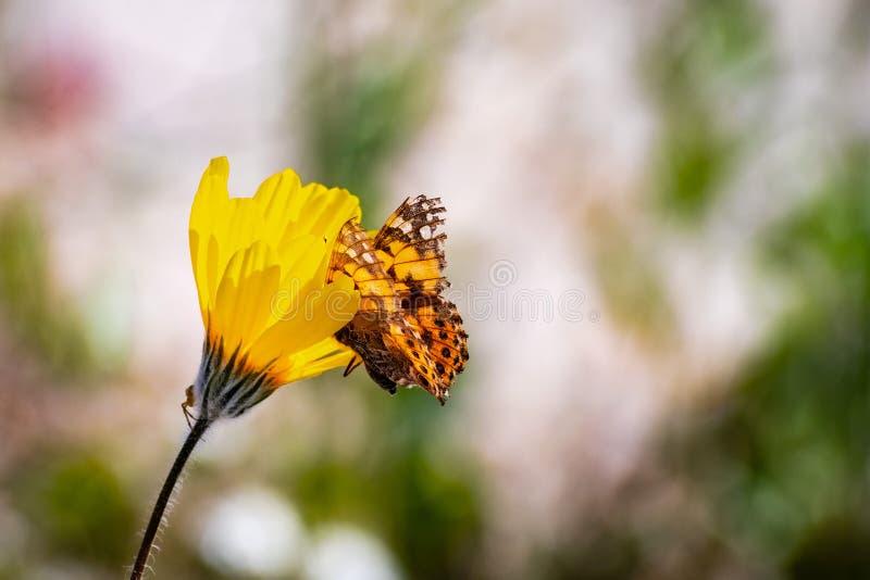 Malujący damy Vanessa cardui motyl na pustynnego słonecznika Geraea canescens wildflower, Anza Borrego pustyni stanu park, obrazy stock