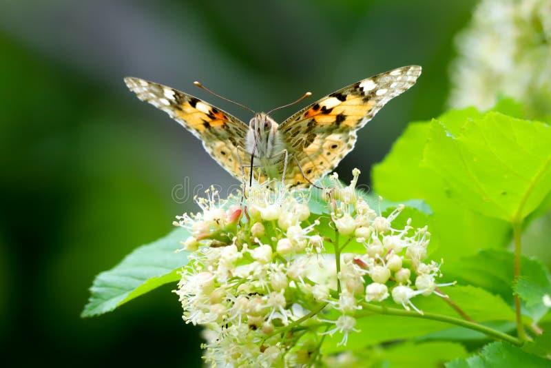 Malujący damy Vanessa motyli cardui używać swój rozszerzoną kłujkę dosięgać nektar Tatar klonowy Acer tataricum f zdjęcie stock