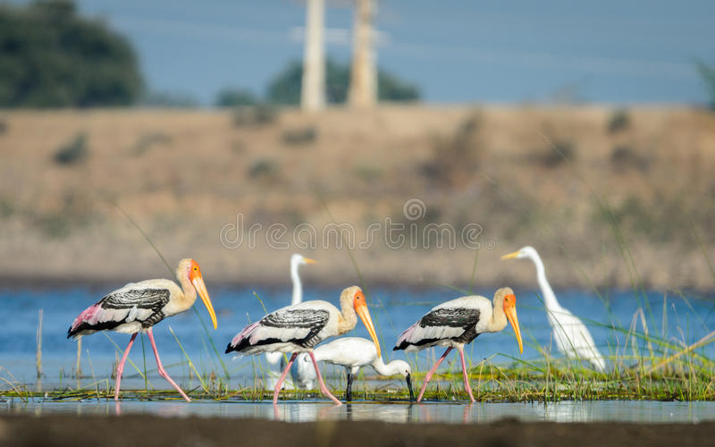 Malujący egrets i bociany obraz stock