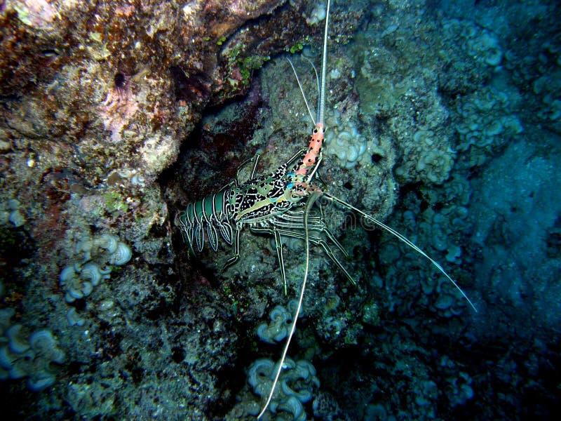 malujący Fiji rakowy homar obrazy royalty free