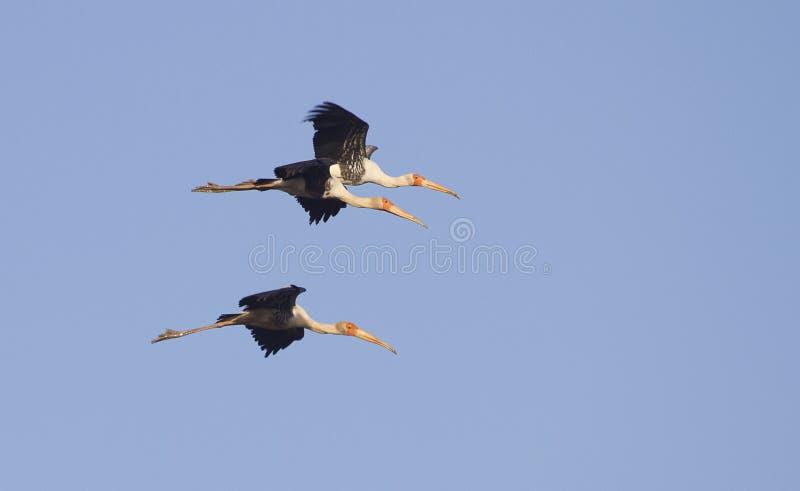 Maluję bocianów latać fotografia royalty free
