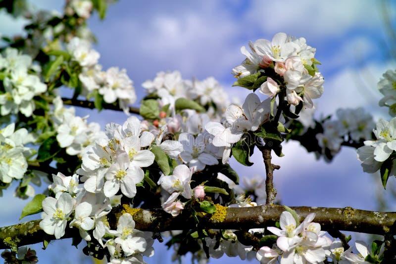 Malus domestica del fiore di melo in primavera, Baviera, Germania fotografia stock