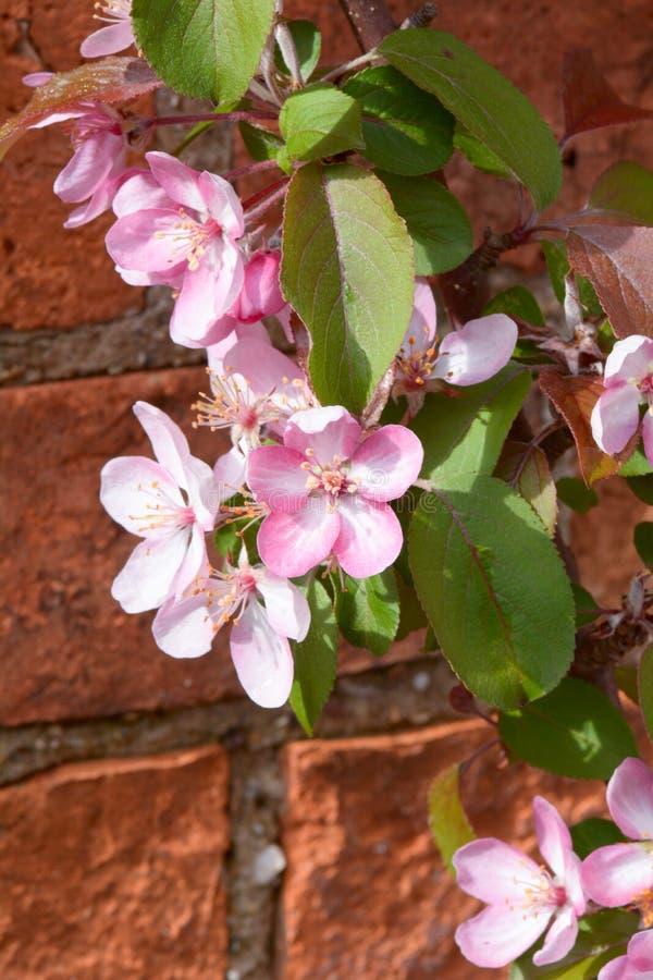 Malus Laura o fiore del fiore della mela di granchio immagine stock libera da diritti