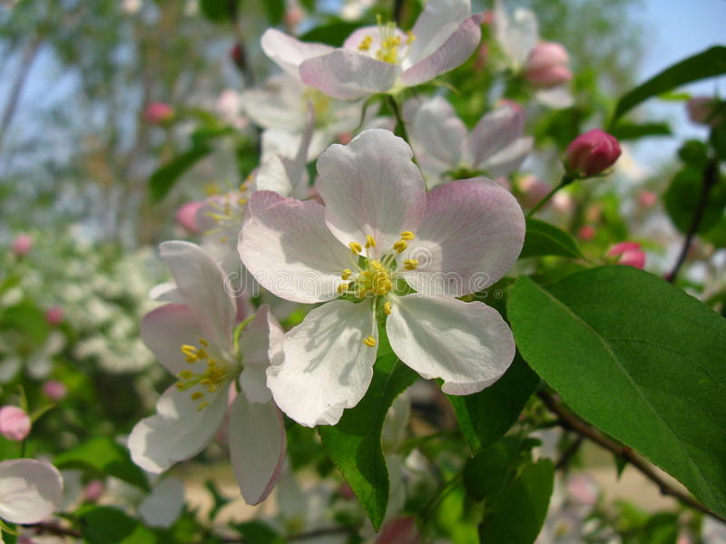 Malus spectabilis kwiat zdjęcia stock