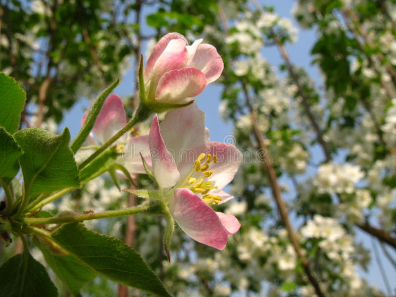 Malus spectabilis kwiat zdjęcia royalty free