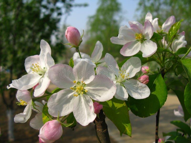 Malus spectabilis kwiat fotografia stock
