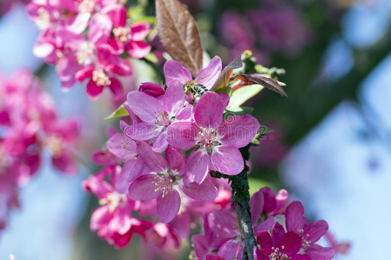 Malusroyalty, det dekorativa äppleträdet, vår, purpurfärgade rosa färger blommar på filialer arkivfoto