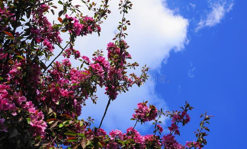 MalusroyaltyCrabapple träd med pråliga och ljusa blommor mot bakgrund för blå himmel fj?der f?r foto f?r ?ppleblomningtr?dg?rd royaltyfri foto