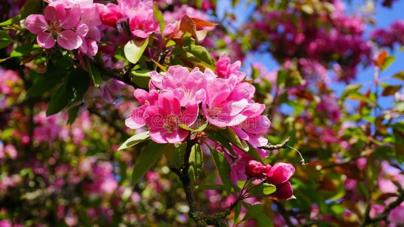 MalusroyaltyCrabapple tr?d med blommor i morgonsolslutet upp fj?der f?r foto f?r ?ppleblomningtr?dg?rd arkivfoto
