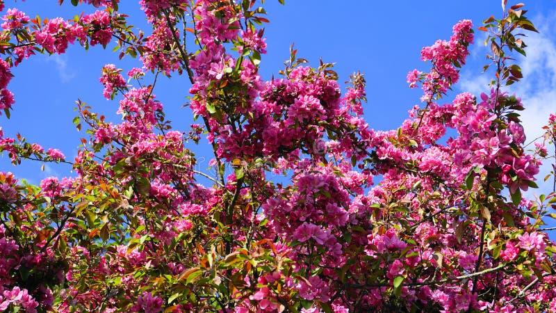 MalusroyaltyCrabapple tr?d med blommor i morgonsolslutet upp fj?der f?r foto f?r ?ppleblomningtr?dg?rd royaltyfria bilder