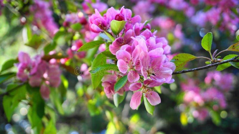 MalusroyaltyCrabapple tr?d med blommor i morgonsolslutet upp fj?der f?r foto f?r ?ppleblomningtr?dg?rd royaltyfri foto