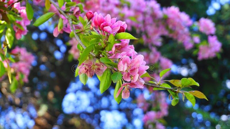 MalusroyaltyCrabapple tr?d med blommor i morgonsolslutet upp fj?der f?r foto f?r ?ppleblomningtr?dg?rd royaltyfri fotografi