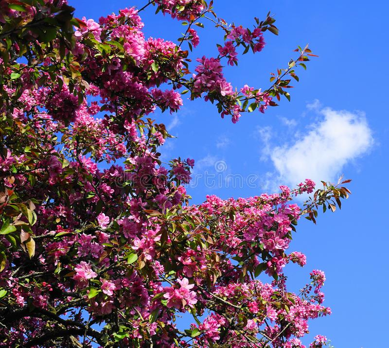 MalusroyaltyCrabapple tr?d med pr?liga och ljusa blommor mot bakgrund f?r bl? himmel fj?der f?r foto f?r ?ppleblomningtr?dg?rd royaltyfria foton