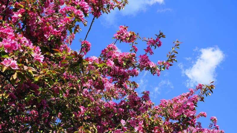 MalusroyaltyCrabapple tr?d med pr?liga och ljusa blommor mot bakgrund f?r bl? himmel fj?der f?r foto f?r ?ppleblomningtr?dg?rd fotografering för bildbyråer