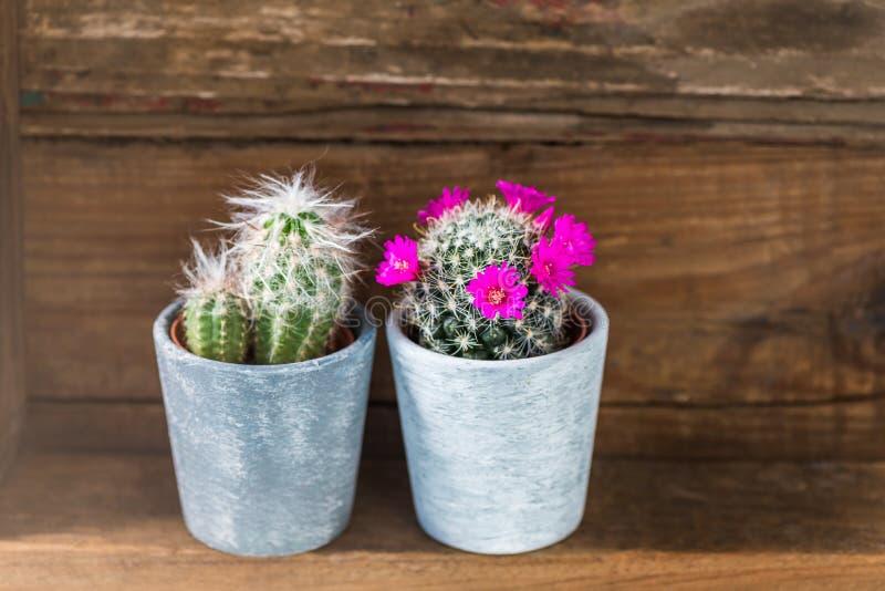 Malutcy kaktusy w garnkach na Ciemnym Drewnianym tle zdjęcie royalty free