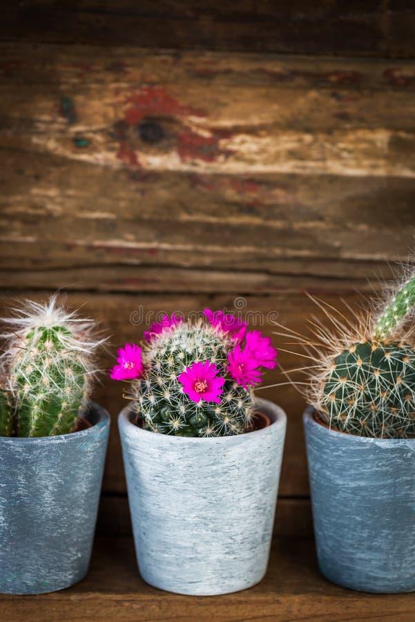 Malutcy kaktusy w garnkach na Ciemnym Drewnianym tle zdjęcia stock