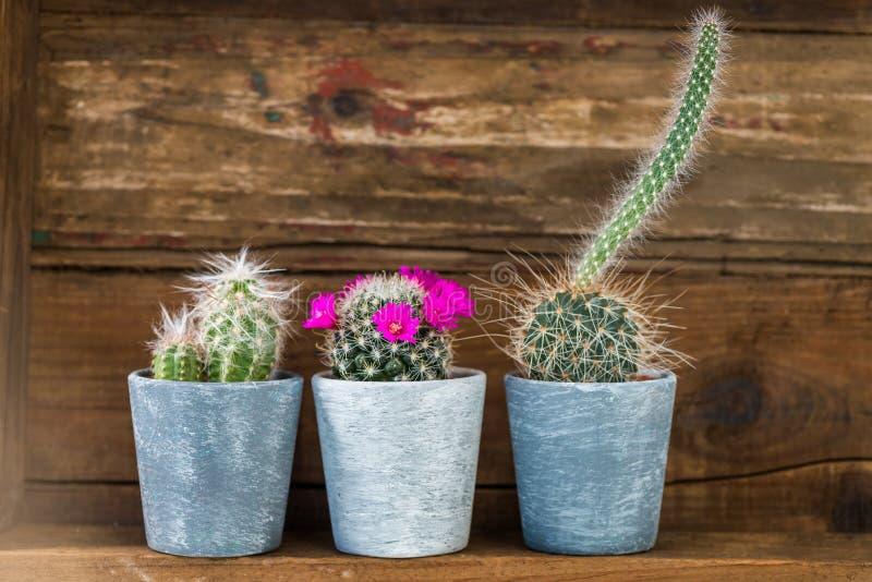 Malutcy kaktusy w garnkach na Ciemnym Drewnianym tle obrazy royalty free