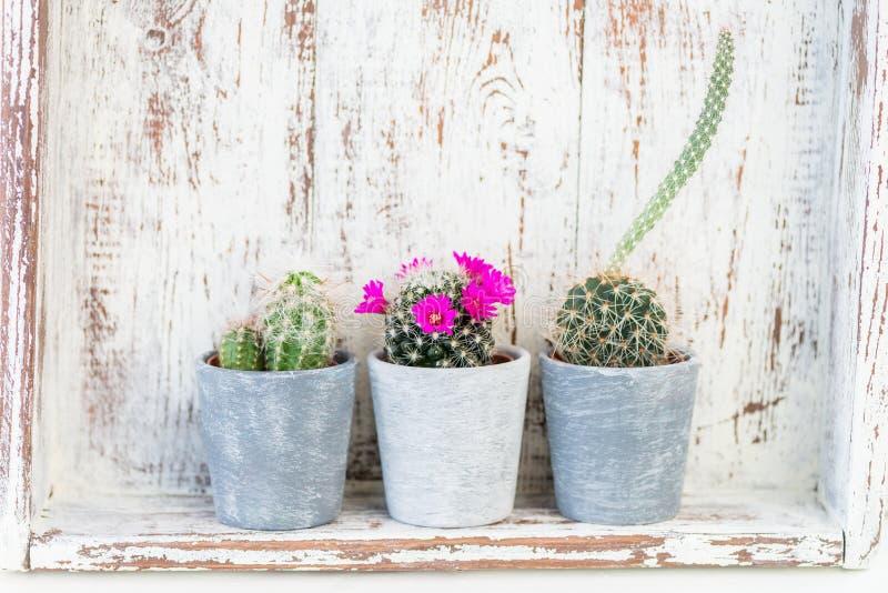 Malutcy kaktusy w garnkach na Lekkim tle zdjęcie stock