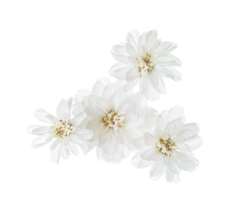 Malutcy kwiaty kichawa Achillea ptarmica odizolowywający na białym tle zdjęcie stock