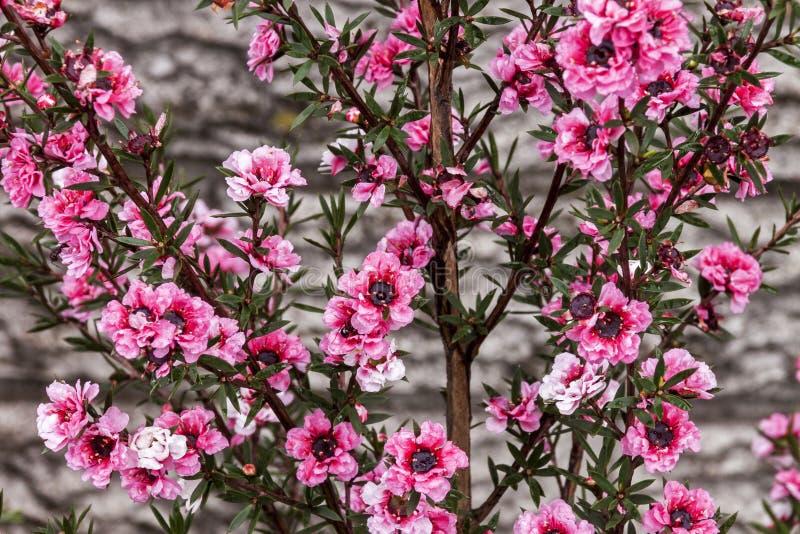 Malutcy Różowi kwiaty Australijski Herbaciany Bush obraz stock