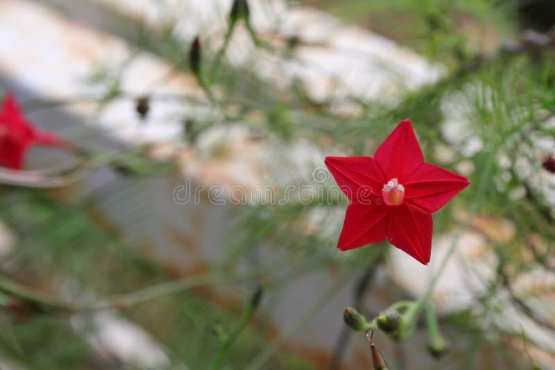 Malutka gwiazdowa kwiat władza fotografia stock