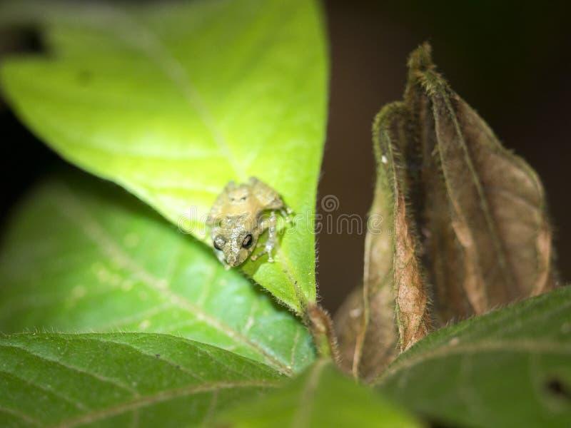 Malutka tropikalna żaba na liściu, Mindo, Ekwador obrazy royalty free