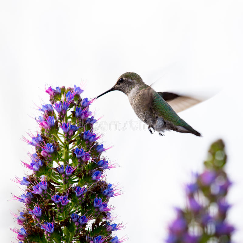 Malutki śliczny hummingbird obrazy stock