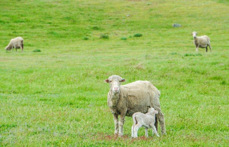 Malutki baranek ssa up mleko od białych cakli w zieleni polu w Nowa Zelandia zdjęcie royalty free
