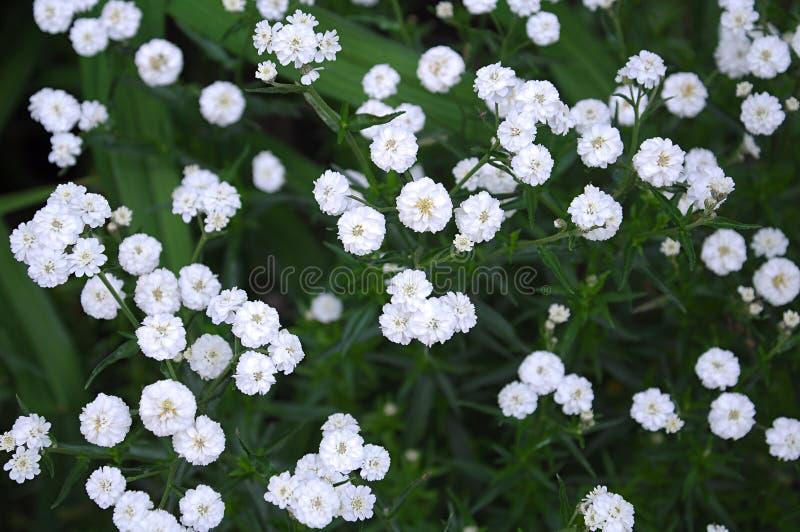 Malutki białych kwiatów łyszczec paniculata zdjęcia stock