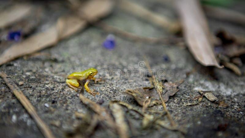 Malutki dziecko żaby odpoczynek na krawędzi staw Azjaty Taipei Hyla tadpole Chinensis obsiadanie obrazy stock