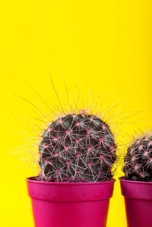 Malutki kaktus w garnku na Jaskrawym Neonowym tle Naszły Imago obraz stock