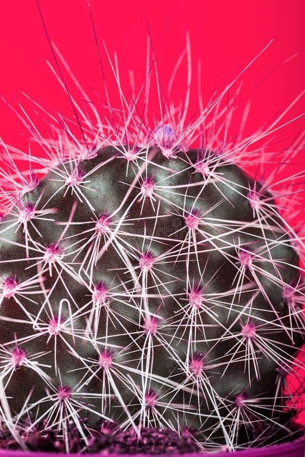 Malutki kaktus w garnku na Jaskrawym Neonowym tle Naszły Imago zdjęcie stock