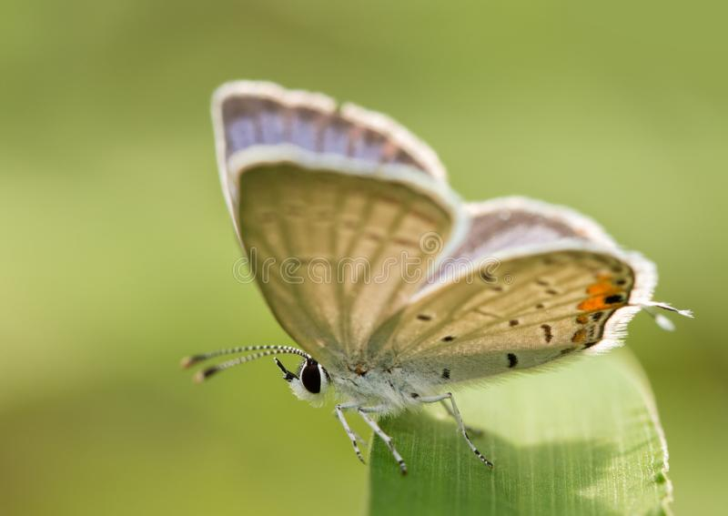 Malutki męski wschodni Błękitny motyli odpoczywać na ostrzu trawa fotografia stock