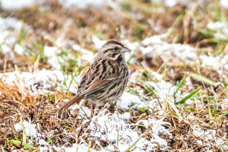 Malutki mały tweety ptasi utrzymywać ciepły i bawić się w śniegu obrazy royalty free