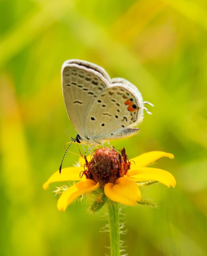 Malutki mały Wschodni błękitny motyli karmienie na małym Blackeyed Susan kwiacie fotografia royalty free