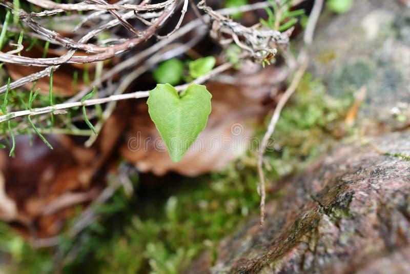 MALUTKI miłości serca liść zdjęcie stock