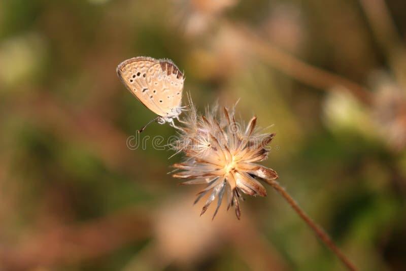 Malutki motyl i wysuszony trawa kwiat obrazy stock