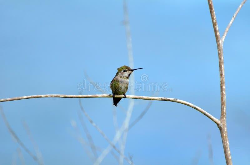 Malutki ptak wymieniający Colibri lub lśnienie violetear siedzi na cienkiej gałąź drzewo przeciw błękitnemu tłu zdjęcia stock