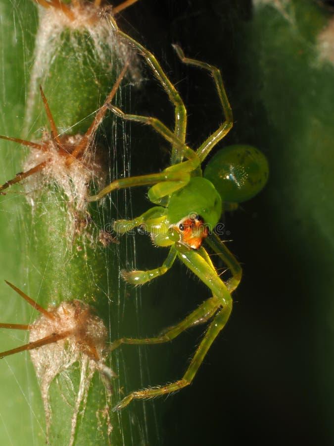 Malutki Zielony pająk na Małym kaktusie zdjęcie royalty free