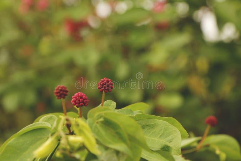 Malutkie Różowe Dzikich Flowers/Dzikie truskawki - słoneczny dzień w zieleń ogródzie fotografia royalty free