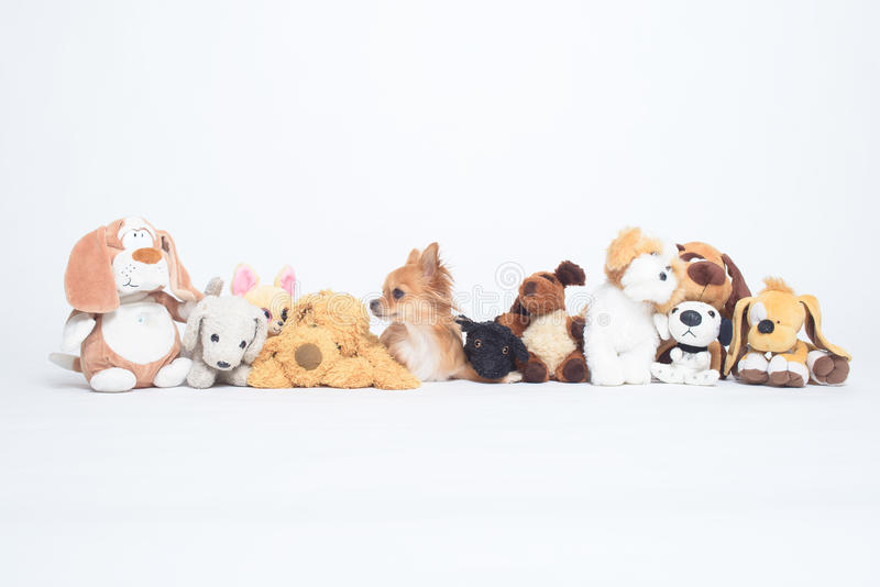 Malutkiego chihuahua psi chować wśród rzędu pluszowe zabawki obrazy stock