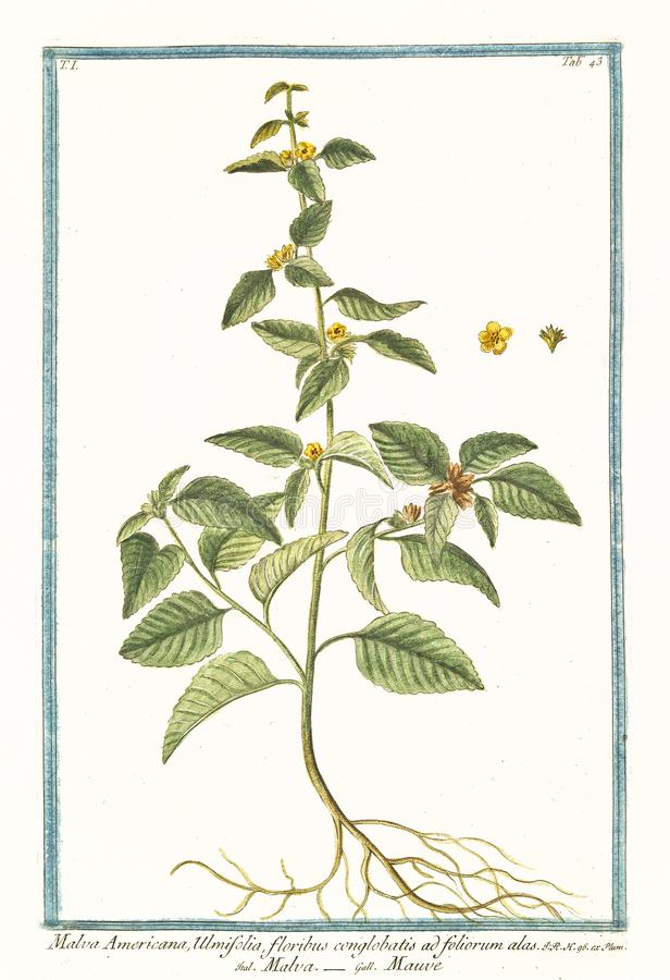 Malva Americana-ulmifolia Malvastrum coromandelianum vektor abbildung