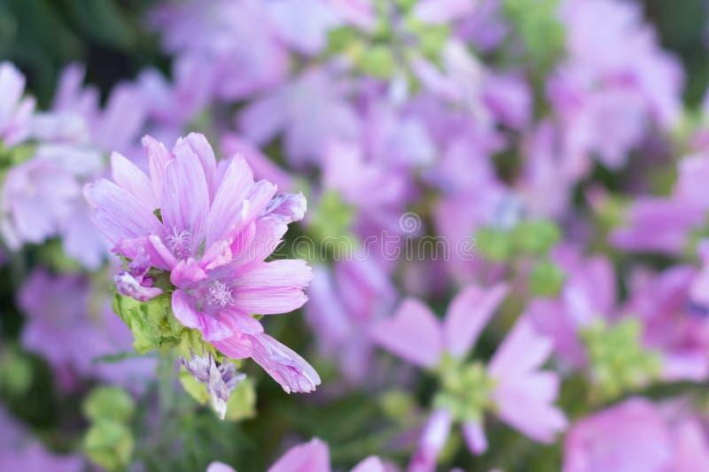 Malva de almizcle o moschata rosada del Malva que florece en el jardín del verano imagenes de archivo